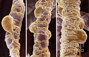 Scanning Electron Microscope Photos - Pericytes by Science Source
