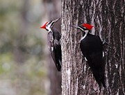 Pileated Woodpeckers Photos - Pileated woodpeckers by David Campione