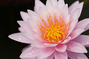 Blossom Originals - Pink lotus by Anek Suwannaphoom