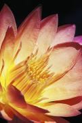 Nature Center Pond Photo Prints - Pink Water Lily Print by Bill Brennan - Printscapes