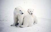 Polar Bear And Cub Print by Chris Martin-bahr