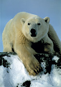 Polar Bear (ursus Maritimus) Prints - Polar Bear Print by Doug Allan