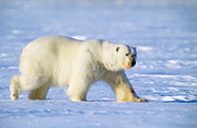 Polar Bear (ursus Maritimus) Posters - Polar Bear Poster by Louise Murray