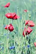 Coquelicot Framed Prints - Poppies Framed Print by Falko Follert