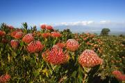 Cushion Metal Prints - Protea Blossoms Metal Print by Ron Dahlquist - Printscapes