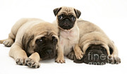 Brindle Photos - Pug And English Mastiff Puppies by Jane Burton