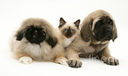 Cats Birman Prints - Puppies And Kitten Print by Jane Burton
