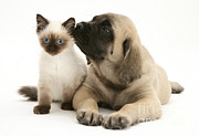 Mastiff Puppy Framed Prints - Puppy And Cat Framed Print by Jane Burton