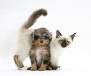 Cross Breed Prints - Puppy And Kitten Print by Mark Taylor