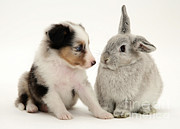 Sable Sheltie Posters - Puppy And Rabbit Poster by Jane Burton
