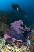 New Britain Island Posters - Purple Elephant Ear Sponge With Diver Poster by Steve Jones