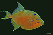 Triggerfish Art - Queen Triggerfish by Larry Linton