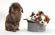Sleeping Baby Animal Posters - Rabbit And Spaniel Pups Poster by Mark Taylor