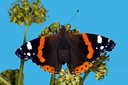 Deterrent Posters - Red Admiral Butterfly Poster by Dr Keith Wheeler
