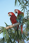 Perched Photos - Red And Green Macaw Ara Chloroptera by Konrad Wothe