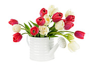 Container Posters - Red and white tulips Poster by Elena Elisseeva
