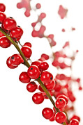 Traditional Art - Red Christmas berries by Elena Elisseeva