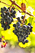 Vines Photo Posters - Red grapes Poster by Elena Elisseeva
