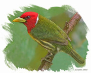 Costa Digital Art Prints - Red-headed Barbet Print by Larry Linton