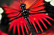 Flying Bugs Posters - Red heliconius dora butterfly Poster by Elena Elisseeva