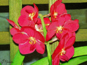Ornamental Paintings - Red Orchids by Ellen Henneke