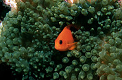 Saddleback Prints - Red Saddleback Anemonefish Print by Georgette Douwma