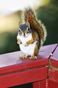 Fat Metal Prints - Red squirrel on railing Metal Print by Elena Elisseeva