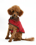 Dog Clothes Posters - Red Toy Poodle Poster by Mark Taylor
