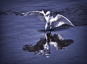 Snowy Egret Photos - Reflections  by Saija  Lehtonen
