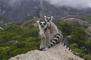 Two Tailed Photo Metal Prints - Ring-tailed Lemur Lemur Catta Mother Metal Print by Pete Oxford