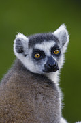 Lemur Catta Framed Prints - Ring-tailed Lemur Lemur Catta Portrait Framed Print by Pete Oxford