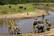 Elephant Prints - River Crossing Print by Michele Burgess