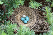 American Robin Posters - Robins Nest And Cowbird Egg Poster by Ted Kinsman