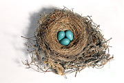 North American Wildlife Posters - Robins Nest With Eggs Poster by Ted Kinsman