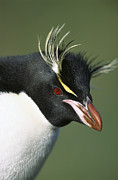 Ilcp Acrylic Prints - Rockhopper Penguin Eudyptes Chrysocome Acrylic Print by Tui De Roy
