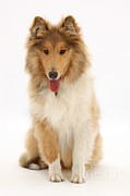 Panting Dog Posters - Rough Collie Poster by Mark Taylor