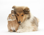 Fauna Metal Prints - Rough Collie Pup With Rabbit Metal Print by Mark Taylor
