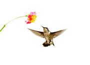 Focus On Background Prints - Ruby-throated Hummingbird Print by Jim McKinley