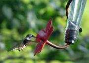 Feeding Pyrography - Ruby-throated hummingbird by Richard Nickson