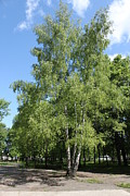 Park Scene Originals - Russian birch by Evgeny Pisarev