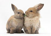Mark Taylor - Sandy Rabbits Sharing Grass