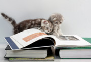 Reading Photos - Scottish Fold cats by Evgeniy Lankin