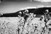 Thistles Photos - scottish thistles growing wild near Loch Ness highland scotland uk by Joe Fox