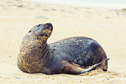 Sea Lion Photos - Sea lion by MotHaiBaPhoto Prints