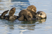 Otter Prints - Sea Otter Mother And Pup Elkhorn Slough Print by Sebastian Kennerknecht