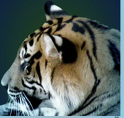 The Tiger Mixed Media Posters - Shades Of A Tiger  Series Poster by Debra     Vatalaro