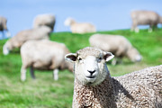 Sheep Framed Prints - Sheeps Framed Print by MotHaiBaPhoto Prints