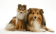 Sable Sheltie Posters - Shelties Poster by Jane Burton
