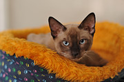 Siamese Cat Print by Waldek Dabrowski