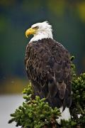 American Eagle Photos - Side View Of American Bald Eagle by Richard Wear